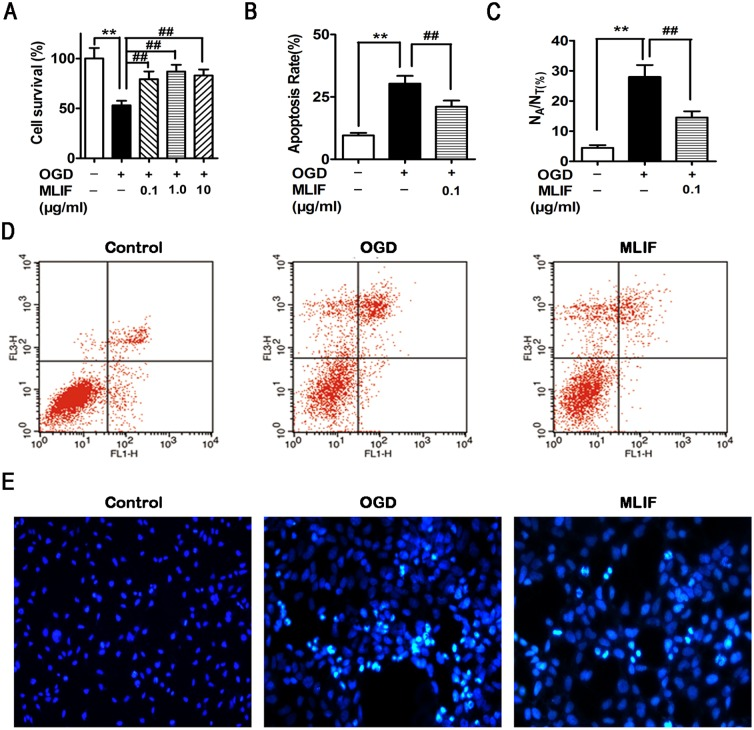 The effect of MLIF on OGD-induced SH-SY5Y neuroblastoma injury was evaluated using MTT assay, flow cytometry and Hoechst staining assay. SH-SY5Y cells were exposed to OGD for 6h. After treatment with MLIF (0.1, 1.0, 10 μg/ml), MTT assay was used to measure the cell survival ratio (A). Annexin V/PI labeling, assessed by flow cytometry (B, D), and Hoechst 33258 staining (C, E) were performed to evaluate apoptosis in SH-SY5Y cells. Data are expressed as the mean ± SEM. Results were analyzed with one-way ANOVA; n = 3. ** P