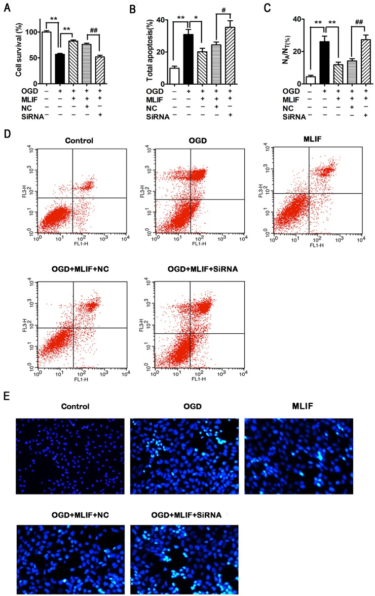 MLIF protects SH-SY5Y cells against apoptosis in an eEF1A2-dependent manner. OGD-exposed SH-SY5Y cells transfected with eEF1A2 siRNA or negative control siRNA (NC) were treated with MLIF (0.1 μg/ml). Cell survival was measured using MTT assay (A). Representative annexin V/PI labeling, assessed by flow cytometry, was used to analyze the ratio of apoptotic SH-SY5Y cells (B, D). Hoechst 33258 staining was used to evaluate the nuclear morphology of SH-SY5Y cells (C, E). Data are expressed as the mean ± SEM. Results were analyzed using one-way ANOVA; n = 3. ** P