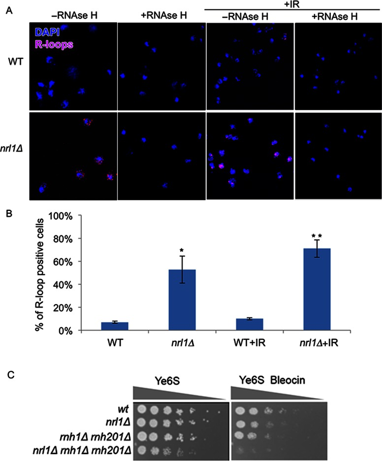Nrl1 prevents R-loop accumulation. ( A ) Immunofluorescence analysis of RNA–DNA hybrids in chromosome spreads from WT (TH8342) and nrl1Δ (16581) using the mouse monoclonal S6.9 antibody. As negative control, the spreads were pre-treated with <t>RNase</t> H (+RNase H) before immunostaining as previously described ( 34 ). +IR: The cells were exposed to 100 Gy of IR before immunostaining. (B) Quantification of the R-loop positive nuclei in A. Mean and standard deviation were scored from triplicate experiments, n > 200. The asterisks (*) indicate significant differences compared with WT as determined by paired T-test (* P = 0.01, ** P = 0.003). ( C ) nrl1Δ becomes hypersensitive to bleocin in the absence of Rnh1 and Rnh201. Fivefold serial dilution of nrl1Δ (TH8341) rnh1Δ rnh201Δ (TH8743) and nrl1Δ rnh1Δ rnh201Δ (TH8904) in the absence and presence of bleocin (0.2 μg/ml).