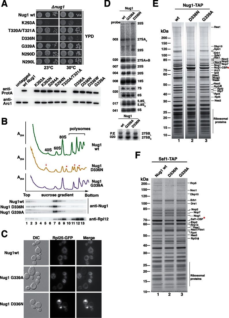 Nug1 nucleotide-binding mutant causes defects in 60S subunit biogenesis. ( A ) Growth behavior of Nug1 GTPase mutants were tested in a nug1 Δ background complemented by wild-type NUG 1 or mutant nug 1 K293A, T320A/T321A, D336N, G339A, N290D or N290L, all carried on a plasmid (YCplac22, CEN3, TRP1). Ten-fold serial dilutions of the indicated strains were spotted on YPD plates for 2 days at the indicated temperatures. Lower panel: whole cell lysates were prepared from exponentially growing cells for each of the indicated mutants. Samples were analyzed on SDS-PAGE and the protein levels of the Nug1 wild-type or mutants were determined by Western blotting using antibodies against the C-terminal TAP-tag (anti-protA). The Arc1 Western blot served as loading control and untagged Nug1 as negative control. ( B ) Top: Ribosome and polysome analysis of Nug1 wild-type and representative nucleotide-binding (D336N) and hydrolysis (G339A) mutants. Whole cell lysates were analyzed by sucrose gradient centrifugation. A 254nm profiles of the fractions collected are depicted. The red arrow denotes the increase of the 40S subunit and the red asterisks the half-mers. Bottom: Western blot of the gradient fractions using antibodies against Nug1 and Rpl12. ( C ) Rpl25-GFP localization in Nug1 wild-type and representative nucleotide-binding (D336N) and hydrolysis (G339A) mutants. ( D ) Northern hybridization and primer extension analysis (lower panel) of RNA extracted from Nug1 WT, nucleotide-binding (D336N) and Nug1 hydrolysis (G339A) mutants. Oligonucleotides used for hybridization or primer extension (P.E) are shown on the left of gel panels ( E ) Affinity-purification of Nug1 wild-type and nug 1 D336N or G339A mutants. ( F ) Affinity-purified Ssf1 pre-ribosomes in the presence of Nug1 wild-type or G-domain mutants (D336N, G339A). For (C) and (D) final eluates were analyzed by SDS-PAGE and Coomassie staining. The indicated bands were identified by mass spectrometry and/or by comparison w
