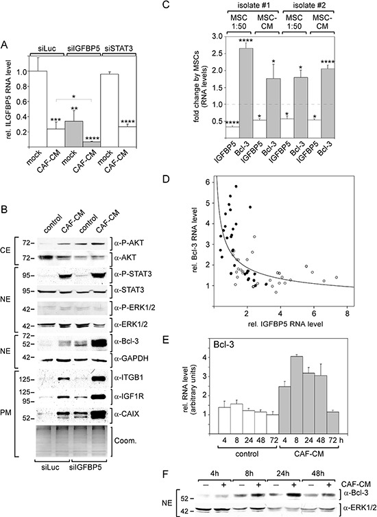 Knock-down of IGFBP5 mimics most of the CAF-CM-induced effects on signaling pathways and protein expression A. RT-PCR analysis of IGFBP5 mRNA levels in <t>MCF-7</t> cells transfected with siIGFBP5, siSTAT3 or siLuc (control siRNA) followed by treatment with CAF-CM or no treatment. B. Western blot analyses of levels of stromal cell-regulated proteins and phospho-proteins after treatment of MCF-7 cells with siIGFBP5 or siLuc in the presence or absence of CAF-CM (CE = cytosolic extract, NE = nuclear extract, PM = plasma membrane extract). To check for equal loading of plasma membrane proteins, proteins remaining in the gel after blotting were stained with Coomassie Blue (Coom.) C. Effects of two different human <t>MSCs</t> isolates on IGFBP5 and Bcl-3 levels in MCF-7 cells. Either MSCs were co-cultured with MCF-7 cells in a ratio of 1:50 or 20% MSC-CM was added to the MCF-7 cells. D. RT-PCR analyses of RNAs isolated from MCF-7 cells treated with CAF-CM (•) or from untreated MCF-7 cells (○) for IGFBP5 and Bcl-3 mRNA levels. E, F. Comparison of the Bcl-3 mRNA RNA (E) and protein (F) levels in the presence and absence of CAF-CM in a time course experiment. For each time point, the difference in Bcl-3 expression between control cells and CAF-CM-treated cells is statistically significant as determined by paired sample student's t -test. In (A, D, F), each bar represents the mean value ± S.D. of at least three independent experiments.