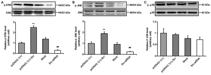 Western blot analysis of mitogen-activated protein kinase (MAPK) in keratinocytes after Src silencing or overexpression. Protein expression of (A) ERK, (B) JNK and (C) p38 after overexpressing Src [pcDNA3.1(+)-Src] or silencing Src expression (Src-siRNA). pcDNA3.1(+) and mock were used as negative controls; mock, cells transfected with scrambled siRNA. Bars represent the means ± SEM; n=4. ** P