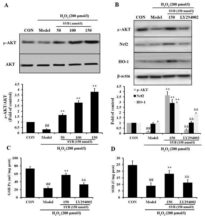 Role of AKT in safflower yellow B (SYB)-induced nuclear factor erythroid 2-related factor 2 (Nrf2) and heme oxygenase 1 (HO-1) upregulation. (A) Effects of SYB (50, 100 and 150 nmol/l) on AKT protein expression in HepG2 cells exposed to H 2 O 2 (200 µ mol/l). (B) Role of AKT in SYB-induced Nrf2 expression. Cells were pre-treated with SYB (150 nmol/l) or LY294002 (10 µ M) for 24 h, then exposed to H 2 O 2 (200 µ mol/l). Total cell lysates were prepared and subjected to western blot analysis. β-actin was used as a loading control. (C) GSH-Px and (D) superoxide dismutase (SOD) levels were measured using respective kits. Data represent the means ± SD. ## P