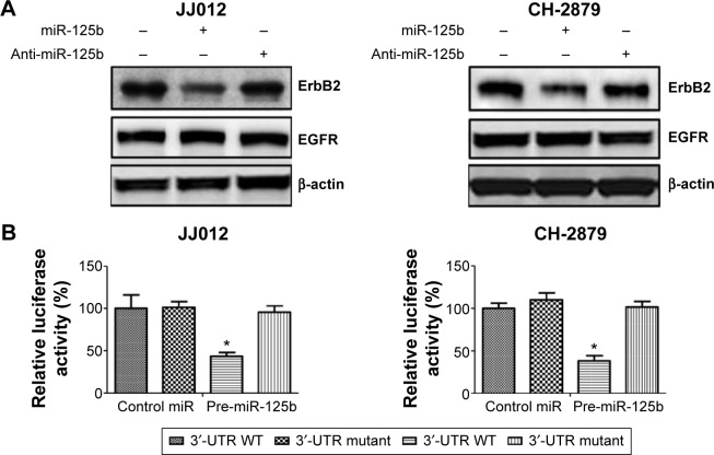 ErbB2 is a direct target of miR-125b in chondrosarcoma. Notes: ( A ) JJ012 and ( B ) CH-2879 cells were transfected with 100 nM pre-miR-negative (Ctr), pre-miR-125b, or anti-miR-125b for 48 hours. Cell lysates were prepared for Western blotting with antibody against ErbB2 and EGFR. EGFR was used as negative control and β-actin was used as a loading control (left). JJ012 and CH-2879 cells were cotransfected with luciferase reporter plasmids with wild-type 3′-UTR of ErbB2 or mutant 3′-UTR of ErbB2 and pre-miR-125, or pre-miR-negative (control miR) by using Lipofectamine 2000 reagent. Forty-eight hours posttransfection, cells were harvested and lysed with passive lysis buffer. Luciferase activities were measured by a dual luciferase reporter assay. The pRL-TK vector was used as an internal control. The results were expressed as relative luciferase activity (firefly LUC/Renilla LUC) (right). Columns, mean of three independent experiments; bars, SE. * P