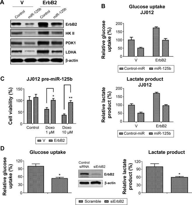Restoration of ErbB2 in miR-125b overexpressing cells recovers the glucose metabolism and doxorubicin sensitivity. Notes: ( A ) JJ012 cells were transfected with 100 nM pre-miR-negative control and pre-miR-125b for 48 hours, followed by transfection with vector control and overexpression vector containing wild-type ErbB2 for 24 hours, and then cells were collected and prepared for Western blotting with antibody against ErbB2, HK II, PDK1, and LDHA. β-actin was used as a loading control. ( B ) JJ012 cells were transfected with pre-miR-125b and ErbB2 as described in ( A ), then the glucose uptake (left) and lactate product (right) were checked. ( C ) JJ012 cells were transfected with pre-miR-125b and ErbB2 as described in ( A ); cells were collected and replaced in 48-well plates for overnight, followed by doxorubicin treatments at the indicated concentrations for 48 hours. Cells were analyzed by cell viability assays. ( D ) The JJ012 cells were transfected with control siRNA or siErbB2 for 48 hours, and then cells were collected for Western blot analysis (middle) and the measurements of glucose uptake and lactate product. Columns, mean of three independent experiments; bars, SE. * P