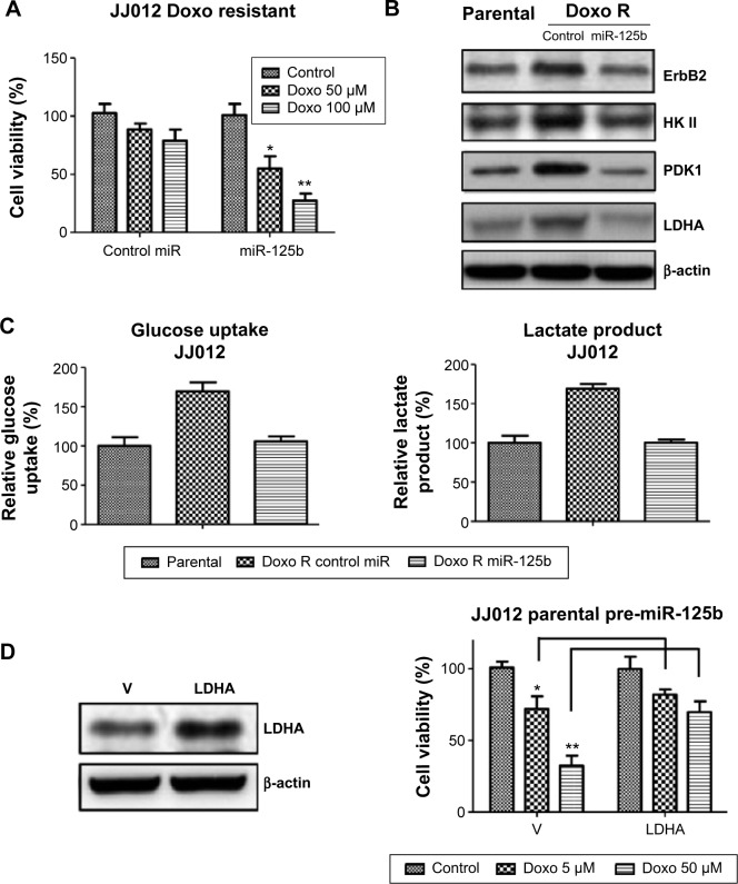 Overexpression of miR-125b resensitizes doxorubicin resistant chondrosarcoma cells through the inhibition of glucose metabolism. Notes: ( A ) Overexpression of miR-125b resensitized doxorubicin resistant cells. Cells were transfected with pre-miR-125b for 48 hours and then were treated with doxorubicin at indicated concentrations for 48 hours, followed by the measurement of cell viability. ( B ) Western blotting experiments showed the overexpression of miR-125b in JJ012 doxorubicin resistant cells decreased the expressions of ErbB2, HK II, PDK1, and LDHA to the same levels as those of JJ012 parental cells. ( C ) Glucose uptake (left) and lactate product (right) results showed the overexpression of miR-125b in JJ012 doxorubicin resistant cells decreased the glucose metabolism to the same levels as those of JJ012 parental cells. ( D ) Exogenous overexpression of LDHA into miR-125b pretransfected JJ012 parental cells (left) showed resistant to doxorubicin treatments at the indicated concentrations for 48 hours (right). Columns, mean of three independent experiments; bars, SE. * P