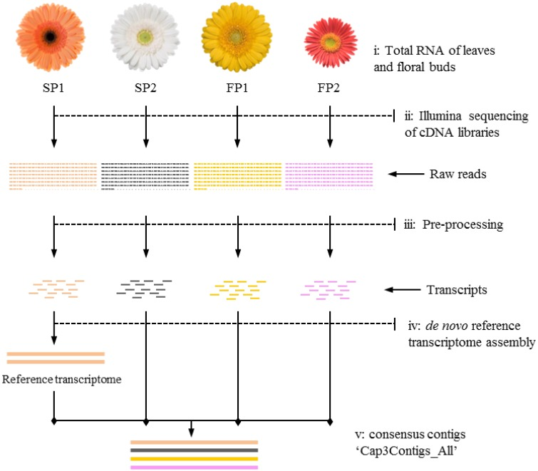 """Workflow of transcriptome sequencing for four parents . (i) Leaves and floral buds of the four gerbera genotypes used to isolate RNA; (ii) Mixed cDNA libraries of four genotypes sequenced on an Illumina platform; (iii) Raw reads used for pre-processing to trim adapter sequences and to filter reads with low quality; (iv) Transcripts of SP1 assembled as first step toward reference transcriptome construction; (v) Transcripts of other genotypes mapped to reference to yield consensus contigs named """"Cap3Contigs_All"""" for SNP detection and annotation."""