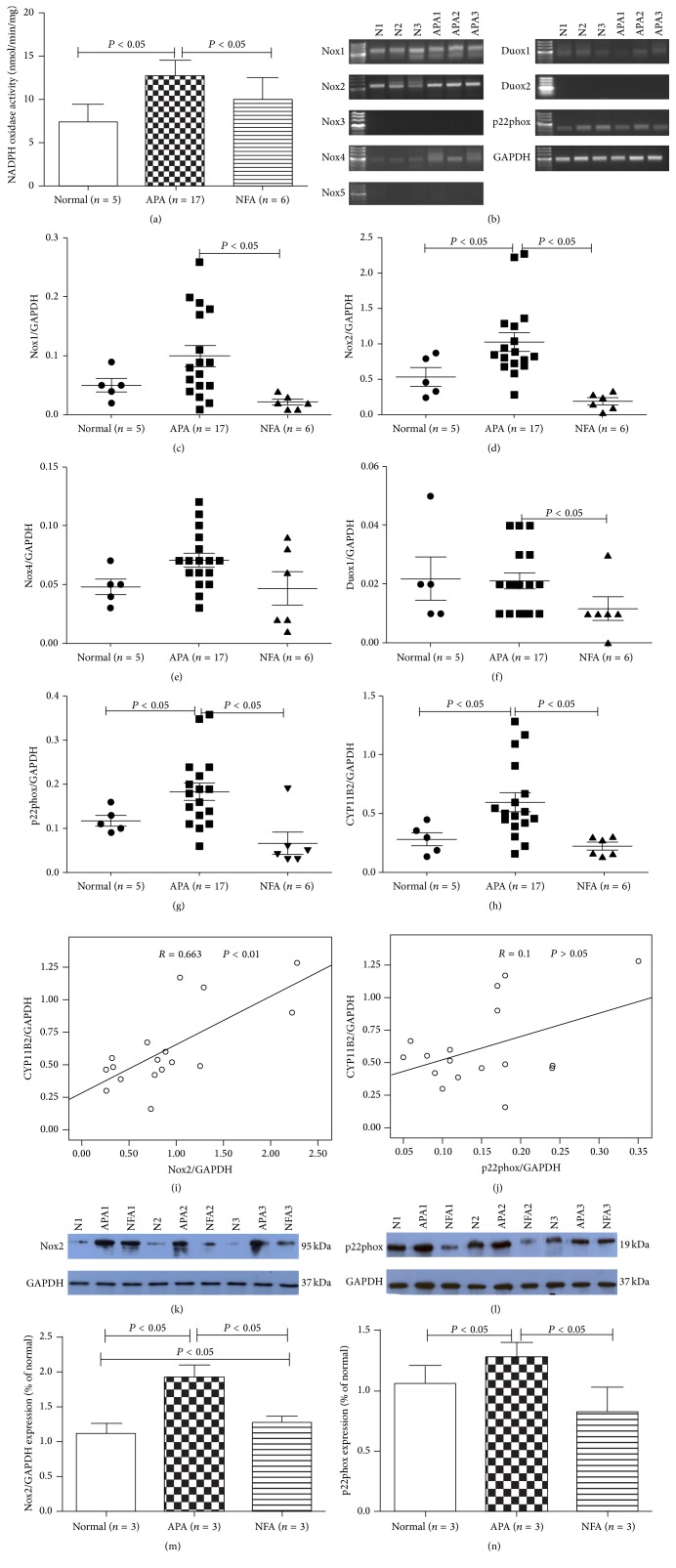 Activity and expression of Nox in different adrenal tissues. (a) Nox activity was detected in normal adrenocortical tissue, APA, and NFA by lucigenin chemiluminescence. (b) Expression of Nox1 – Nox5 , Duox1 , Duox2 , and p22phox mRNA in normal adrenocortical tissue and APA by RT-PCR. Signals for Nox1 , Nox2 , Nox4 , Duox1 , and p22phox were detected in normal adrenal tissue and APA. (c–h) Relative expression of Nox1 , Nox2 , Nox4 , Duox1 , p22phox , and CYP11B2 in normal adrenocortical tissue, APA, and NFA measured by Q-PCR. Nox2 , p22phox , and CYP11B2 were primarily expressed in APA. (i-j) Correlation between CYP11B2 mRNA with Nox2 , CYP11B2 , and p22phox mRNA in APA. A positive correlation between Nox2 and CYP11B2 mRNA was found. (k–n) Western blot analysis of Nox2 and p22phox in normal adrenocortical tissue, APA, and NFA. Nox2 and p22phox were enhanced in APA compared with normal adrenocortical tissue and NFA. Results of densitometric analysis of Nox2 and p22phox proteins normalized to GAPDH were shown.