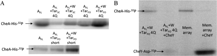 CheA autophosphorylation in the presence of CheW and Tar variants or membrane arrays. (A) Phosphor image of a radioisotope PAGE gel of E. coli CheA autophosphorylation with receptor variants with or without CheW. All the receptors increase CheA activity only if CheW is present. E. coli CheA, CheW, and Tar FO or Tar SC (in a 1:1:6 subunit ratio, 2.5 μM CheA) were left to complex at 25 °C for 1 h prior to exposure to [γ- 32 P]ATP for 30 s. Top and bottom gels are shown at different imaging exposures to aid comparisons for the more active species. (B) PAGE gel comparing CheA activity with Tar FO 4Q with and without CheY (40 μM) vs a membrane (Mem.) array comprised of CheA (2.5 μM), CheW (5 μM), and Tsr receptors (3.4 μM). All band intensities are scaled relative to a normalized free CheA control (30 s time point) present on each gel.