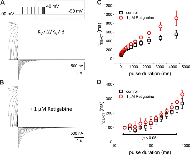 Deactivation time constant increase as a function of the duration of the activating pulse. (A and B) K + currents were activated by 40-mV pulses with a duration varying from 10 to 4,175 ms in the absence (A) and presence (B) of 1-µM Retigabine. The duration of the pulse increased 1.3-fold for each trace. After activation, the K + current was deactivated at −90 mV. (C) τ DEACT –t PULSE plot shows that τ DEACT increased as the activating pulse was longer (black squares). In the presence of Retigabine, τ DEACT increased further. (D) The same plot as in C, but the t PULSE is displayed in a logarithmic scale to highlight the τ DEACT –t PULSE relationship for shorter activating pulses and showing that τ DEACT was unaltered by Retigabine for pulses shorter than 500 ms. Error bars represent standard deviation. Control, n = 7; Retigabine, n = 6.