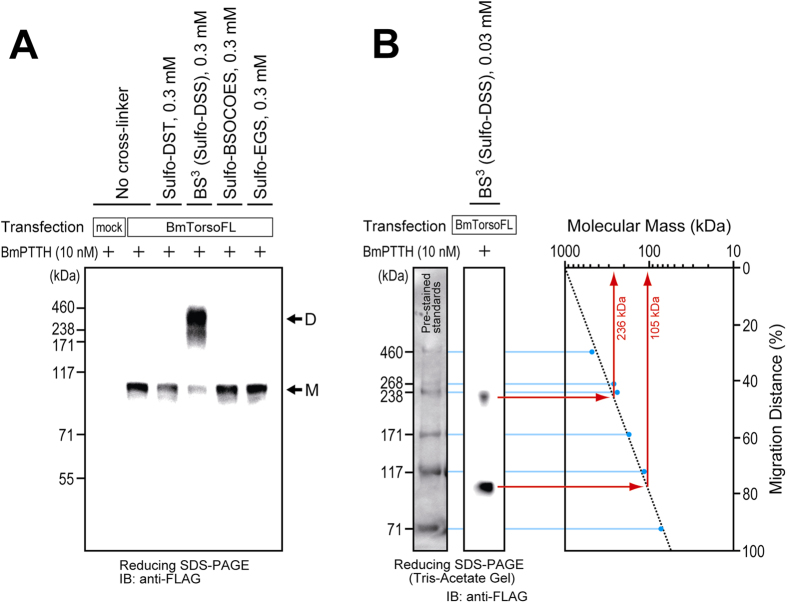 Oligomerization of silkworm Torso on the surface of cultured S2 cells. ( A ) FLAG-tagged full-length silkworm Torso (BmTorsoFL) was transiently expressed in cultured  Drosophila  S2 cells. After successive treatments with 10nM silkworm PTTH (BmPTTH) and 0.3mM water-soluble cross-linking reagent, the stimulated receptor was analyzed by reducing Bis-Tris SDS-PAGE. Only a cross-linker with an 11.4-Å spacer, BS 3  (Sulfo-DSS), successfully generated an oligomer band of BmTorsoFL (shown by the arrow D), while the others, Sulfo-DST, Sulfo-BSOCOES, and Sulfo-EGS, showed only unlinked-monomer bands (the arrow M). ( B ) To estimate the precise molecular mass of the receptor complex, the BmTorsoFL-expressing cells were treated with a much lower concentration (0.03mM) of BS 3  and fractionated by reducing Tris-Acetate SDS-PAGE. The single logarithmic plot of the protein bands shows that the BS 3 -linked oligomer and unlinked monomer of Torso have molecular masses of 236 and 105kDa, respectively, indicating that the BS 3 -linked complex is probably a Torso dimer.