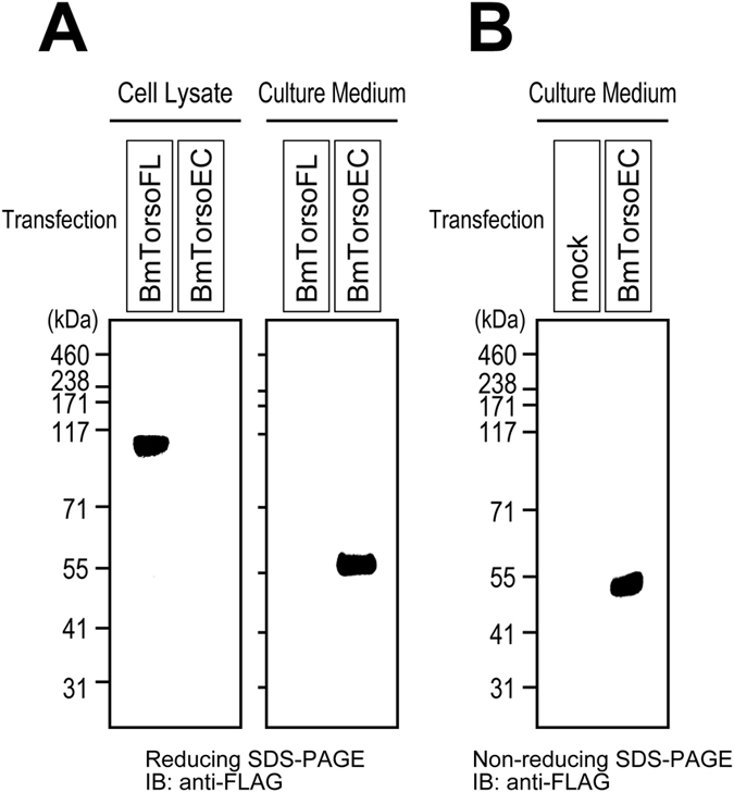 Expression and oligomerization states of the silkworm Torso extracellular region. ( A ) FLAG-tagged full-length silkworm Torso (BmTorsoFL) and its extracellular region (BmTorsoEC), expressed in cultured S2 cells, were analyzed by reducing Bis-Tris SDS-PAGE. While BmTorsoFL was found in the cell lysate, BmTorsoEC was not detected in the lysate, but was present in the culture medium of the cells. ( B ) The BmTorsoEC secreted in the culture medium was not detected as the dimer band on the non-reducing Bis-Tris gel.