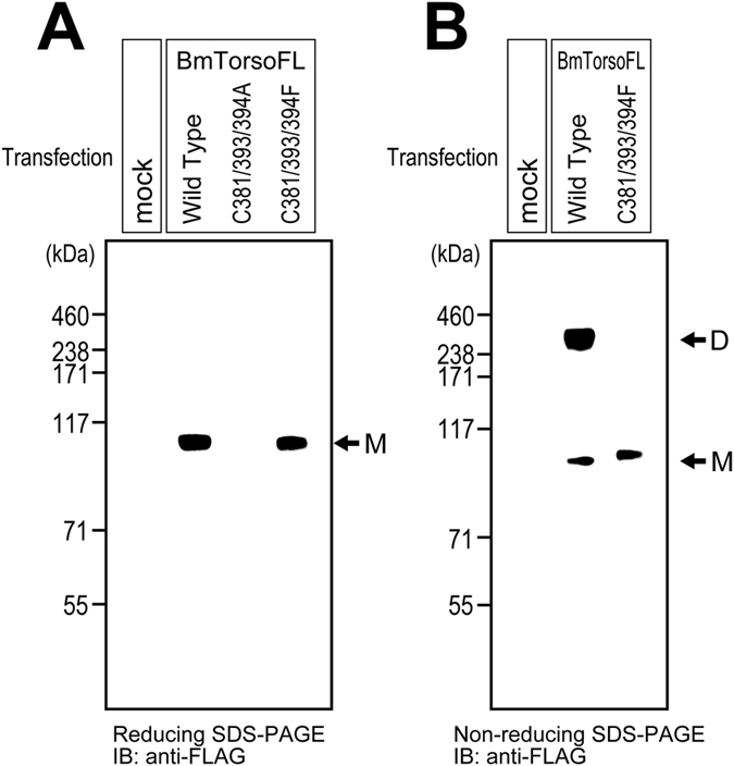 Expression and oligomerization states of silkworm Torso mutants, in which three cysteine residues in the transmembrane region were replaced by alanines (C381/393/394A) and phenylalanines (C381/393/394F). After transfection with a vector for the expression of wild-type Torso or its substitution mutant, the S2 cells without the ligand stimulation were solubilized and directly analyzed by reducing ( A ) and non-reducing ( B ) Bis-Tris SDS-PAGE. The wild-type and phenylalanine mutant proteins were observed as similar monomer bands (shown by the arrow M) on the reducing gel, while that of the alanine mutant was not detected. Wild-type Torso was detected as both the monomer and dimer bands (the arrows M and D, respectively) on the non-reducing gel, while the phenylalanine mutant was only detected as the monomer.