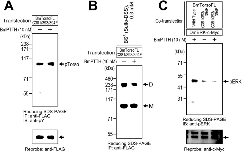 Receptor autophosphorylation, dimerization, and downstream ERK phosphorylation of the Torso phenylalanine mutant (C381/393/394F). The receptor autophosphorylation ( A ), dimerization ( B ), and downstream ERK phosphorylation ( C ) by the phenylalanine mutant were assessed in the same manner as described in  Fig. 3 . The mutant receptor was similarly autophosphorylated either with or without the ligand stimulation, and it formed a non-covalent dimer independently of the ligand stimulation. However, ERK phosphorylation was not facilitated by ligand stimulation in the phenylalanine-mutant-expressing S2 cells, while it was promoted by the ligand in those expressing wild-type Torso (positive control).