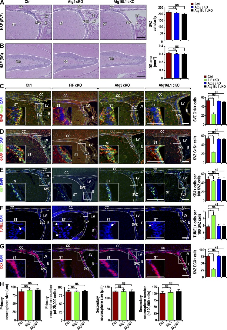Postnatal NSC pool and neurogenesis are intact in Atg5 GFAP cKO and Atg16L1 GFAP cKO mice. (A and B) H E staining of SVZ (A) and DG (B) from Ctrl, Atg5 GFAP cKO, and Atg16L1 GFAP cKO mice at P28. Dotted lines indicate the SVZ and DG boundaries. SVZ cellularity (mean ± SEM; A) and DG area (B) per section from different mice ( n = 4 mice each). (C and D) Immunofluorescence for GFAP, Nestin (C), SOX2 (D), and DAPI in Ctrl, Fip200 GFAP cKO, Atg5 GFAP cKO, and Atg16L1 GFAP cKO SVZ at P28. Mean ± SEM of GFAP+ and Nestin+ (C) and GFAP+ and Sox2+ (D) cell number per SVZ section ( n = 3 mice each). (E and F) Immunofluorescence for Ki67 and DAPI (E) and TUNEL and DAPI (F) in Ctrl, Fip200 GFAP cKO, Atg5 GFAP cKO, and Atg16L1 GFAP cKO SVZ and RMS at P28. Arrows mark examples of TUNEL+ cells in insets. Mean ± SEM of the Ki67+ (E) and TUNEL+ (F) cell number per SVZ section ( n = 3 mice each). (G) Immunofluorescence for DCX and DAPI in Ctrl, Fip200 GFAP cKO, Atg5 GFAP cKO, and Atg16L1 GFAP cKO SVZ and RMS at P28. Mean ± SEM of DCX+ cell number per SVZ section ( n = 3 mice each). (H) Mean ± SEM of the number and size of primary and secondary neurospheres from Ctrl, Atg5 GFAP cKO and Atg16L1 GFAP cKO mice at P28 ( n = 3 mice each). CC, corpus callosum; E, ependymal layer; LV, lateral ventricle; ST, striatum. Bars: (A and B) 100 µm; (C–G and insets) 40 µm. *, P