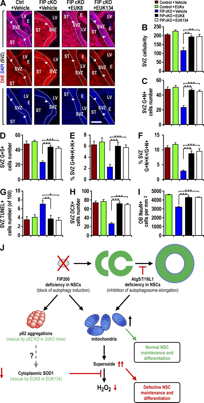 SOD mimetics EUK-8 and EUK-134 restore normal O 2 •− levels and rescue defective NSCs in Fip200 GFAP cKO mice. (A–I) Ctrl and Fip200 GFAP cKO mice at P28 were treated with vehicle, EUK-8, or EUK-134. (A) DHE and DAPI fluorescence in SVZ. Arrows indicate SVZ cells. Dotted lines indicate the boundaries of the SVZ ( n = 4 mice each). (B) Mean ± SEM of SVZ cellularity per section ( n = 3 mice each). (C and D) Mean ± SEM of GFAP + Nestin + (C) and GFAP + SOX2 + (D) cells per section ( n = 4 mice each). (E and F) Mean ± SEM of the percentage of GFAP + Nestin + Ki67 + to total Ki67 + cells (E) or total GFAP + Nestin + cells (F) in SVZ ( n = 4 mice each). (G–I) Mean ± SEM of TUNEL + (G) or DCX + (H) cells per SVZ section and NeuN + cells in the OB per square millimeter (I) of mice ( n = 4 mice each). E, ependymal layer; LV, lateral ventricle; ST, striatum. Bars, 50 µm. *, P