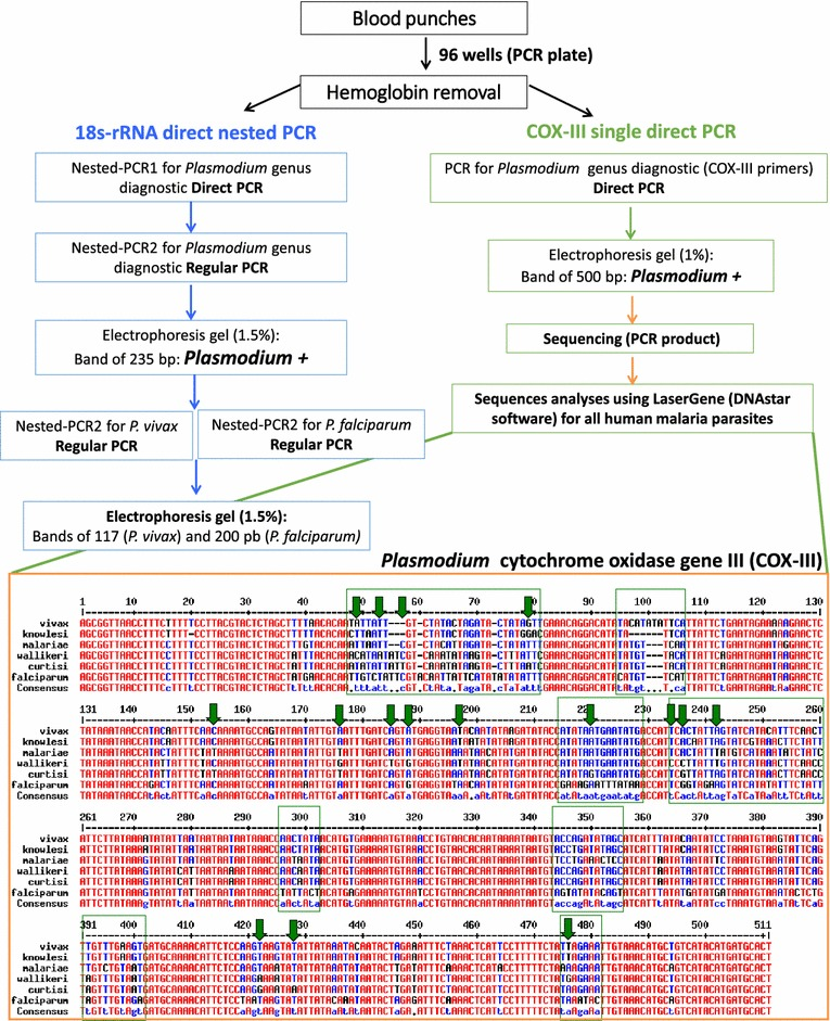 Flowchart of PCR techniques and alignment of the Plasmodium cytochrome oxidase gene III PCR products. For the cytochrome oxidase III (COX-III) gene the expected sizes of PCR fragments are: P. vivax (506 bp), P. falciparum (508 bp), P. malariae (504 bp), P. knowlesi (499 bp), P. ovale wallikeri and P. ovale curtisi (506 bp). With the COX-III gene sequence alignment, 140 polymorphisms (28 % of nucleotides) provide information for species diagnosis (there are eight blocks of highly polymorphic regions). For differentiation between P. ovale wallikeri and P. ovale curtisi, 16 SNPs were found ( green arrows ). When using 18s-rRNA nested PCR, additional Nest2 PCRs with species-specific primers are required for diagnosis of P. malariae, P. ovale wallikeri, P. ovale curtisi and P. knowlesi