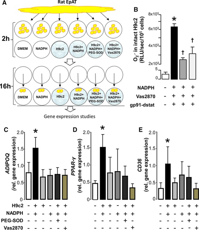 Activation of nicotinamide adenine dinucleotide phosphate (NADPH) oxidase in H9C2 cardiomyocytes triggers peroxisome proliferator-activated receptor gamma (PPAR-γ) signaling in rat pericardial fat: identifying a novel inside-to-outside signal. To examine whether under conditions of increased endogenous oxidative stress cardiac myocytes release a transferable factor able to affect the activation of PPAR-γ/adiponectin signaling in rat epicardial adipose tissue (EpAT), we exposed H9c2 cells (differentiated to cardiac myocytes) to NADPH 100 μmol/L for 2 h, whereas rat EpAT was conditioned ex vivo ( A ). After 2 h, the rat EpAT was transferred into the H9c2 wells and cocultured for an additional 16 h ( A ). At the end of the incubation period, gene expression was studied in the rat EpAT. Addition of NADPH to intact H9c2 cells grown on coverslips led to a striking increase of NADPH oxidase–derived superoxide (O 2 − ) that was partly inhibitable by either Vas2870 (a pan-Nox inhibitor) or gp91-dstat (a specific inhibitor of NOX2; B ), as demonstrated by real-time monitoring using lucigenin-enhanced chemiluminescence. Coincubation of rat EpAT with H9c2 cardiac myocytes stimulated with NADPH resulted in an upregulation of ADIPOQ ( C ), PPAR-γ ( D ), and CD36 ( E ) in EpAT at 16 h. All these effects were prevented by polyethylene glycol (PEG)-SOD (300 U/mL) or vas2870 (10 nmol/L). The presence of unstimulated H9C2 cells or NADPH alone had no effect on the expression of ADIPOQ, PPAR-γ , or CD36 genes in the rat EpAT ( C – E ). Concentration of gp91-dstat was 50 μmol/L. Values are presented as mean±SEM. B , n=7; ( C – E ), n=7; * P