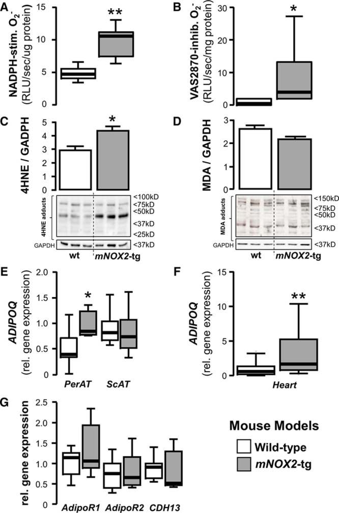 Testing the inside-to-outside paracrine effects of the heart on pericardial adipose tissue using a cardiomyocyte-specific Nox2-tg mouse model. In the cardiac myocyte–specific NOX2-transgenic mouse, myocardial nicotinamide adenine dinucleotide phosphate (NADPH) oxidases were activated, as assessed by both the NADPH-stimulated ( A ) and Vas2870-inhibitable superoxide (O 2 − ) signal ( B ), and by increased formation of 4-hydroxynonenal (4HNE) protein adducts when compared with wild-type (wt) animals ( C ). There was no difference in the myocardial protein levels of malonyldialdehyde (MDA) adducts ( D ). Increased myocardial oxidative stress and 4HNE adducts formation in mNOX2 -tg mice led to increased ADIPOQ gene expression in the fat attached to the heart (pericardial adipose tissue [PerAT]), but not in remote AT depots, eg, subcutaneous AT (ScAT; E ). mNOX2 -tg mice also had increased endogenous levels of ADIPOQ gene expression in myocardial tissue ( F ), but there was no difference in the myocardial gene expression levels of any of adiponectin receptors, T-cadherin (CDH13), AdipoR1 and AdipoR2 ( G ); ( A – E ), n=5 to 6 per group; ( F and G ) n=9 to 10 per group, * P