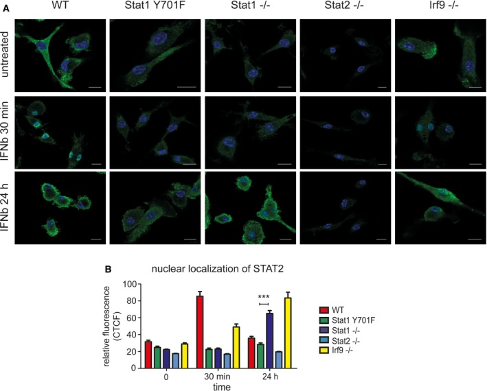 STAT 1Y701F mutant reduces IFN β‐stimulated nuclear translocation of STAT 2 Analysis of STAT 2 nuclear translocation by immunofluorescence. Bone marrow‐derived macrophages ( BMDM s) of wild‐type ( WT ), Stat1 Y701F ( YF ), Stat1 −/− (S1), Stat2 −/− (S2), and Irf9 −/− ( IRF 9) mice were seeded on cover slips and stimulated with 250 IU /ml of IFN β for 30 min or 24 h. The cells were fixed and stained for STAT 2‐specific antibody followed by Alexa Fluor® 488 conjugated secondary antibody (green). Nuclei were stained with DAPI (blue). Studies are representative of more than three independent experiments. The scale bars represent 10 µm. Quantitative evaluation of STAT 2 nuclear translocation. The intensity of STAT 2‐dependent immunofluorescence over DNA staining ( DAPI ) was quantified using ImageJ software in 20 cells from two independent experiments. Bars represent a mean with standard deviation ( SD ) and asterisks denote the level of statistical significance (*** P ≤ 0.001); P ‐value was calculated using unpaired t ‐test.