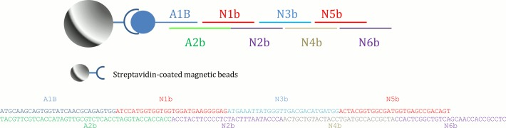 Schematic of the building blocks for DNA construction. Streptavidin-coated magnetic beads were used as solid support for dsDNA synthesis and oligo fragments were ligated to the building block one at a time.