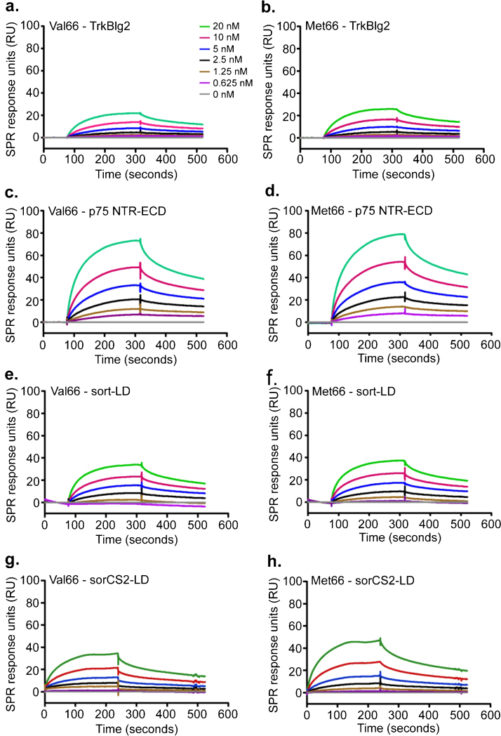 ProBDNF variants are similar in their binding to TrkB, p75NTR, sortilin and SorCS2. Representative sensorgrams are shown for 0–20 nM proBDNF FCR Val66 (a, c, e, and g) and FCR Met66 (b, d, f, and h) binding to their isolated receptor binding domains TrkBIg 2 , p75NTR ECD, sortilin LD and SorCS2 LD. Data was double referenced (RU) and plotted as a function of time. All the kinetic data were fitted to 1:1 Langmuir mathematical model and kinetic constants were calculated. KD denotes mean equilibrium dissociation constant. Mean constants for both Val66 and Met66 variants were not statistically different. Full kinetic constants are given in Table 1 .