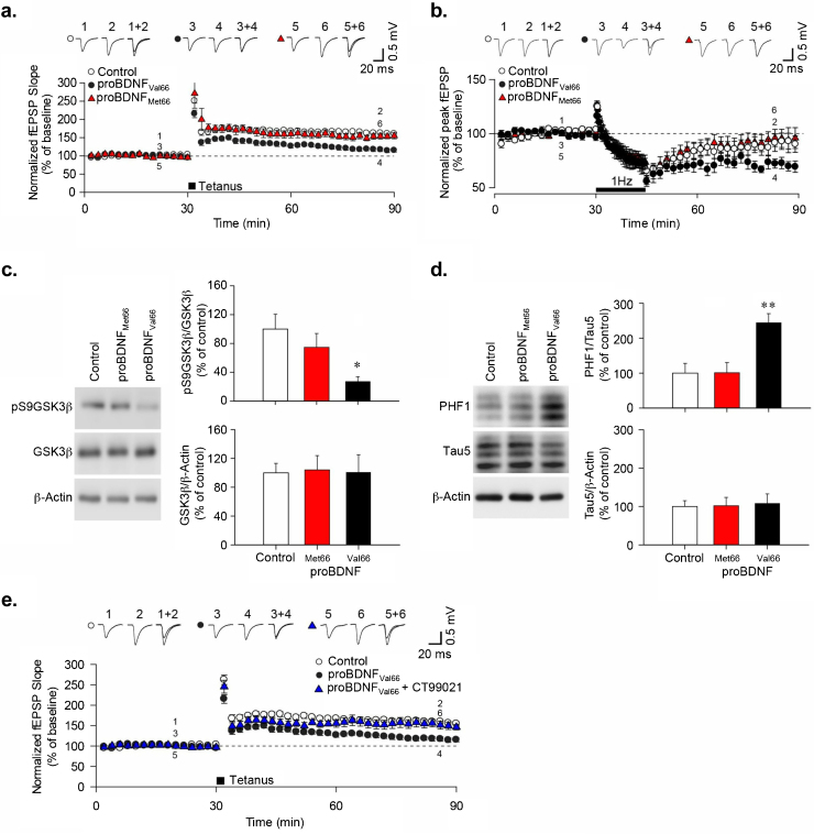 ProBDNF Val66 activates GSK3β to mediate effects on synaptic plasticity. (a) LTP was induced by delivering 2 tetanic stimuli to the Schaffer collateral input of acute hippocampus slices. Prior to tetanus, slices were pre-incubated (90 min) with 1 nM proBDNF Val66 and Met66 FCR variants and perfused constantly with appropriate 1 nM variants. Statistical comparison of the mean fEPSPs values, calculated ∼45 min after application of tetanus, showed prominent differences between Val66 and Met66 in inhibiting LTP. (b) LTD was induced using standard LFS protocol of 1 Hz, 900 pulses for 15 min in rat (P24–26) hippocampal slices. Prior to LFS, slices were pre-incubated (90 min) with 1 nM proBDNF Val66 or Met66 and perfused constantly with 1 nM proBDNF variants as appropriate. Statistical comparison of mean fEPSPs values calculated approximately 45 min after application of LFS showed prominent differences between Val66 and Met66 in facilitating LTD. (c) Western blotting analysis of phosphorylated GSK3β at serine 9 and total levels of GSK3β after incubation with proBDNF variants for 90 min, n = 4. (d) Representative western blot showing PHF-1 phosphorylation levels normalized to tau-5 after treatment with proBDNF Val66 or Met66 (1 nM; 90 min). Bar-chart showed quantification of pooled data ( n = 4). (e) Quantification of LTP levels following 2 tetanic stimuli with proBDNF Val66 in the presence and absence of CT99021 (1 μM; n = 6). Significance ( * P
