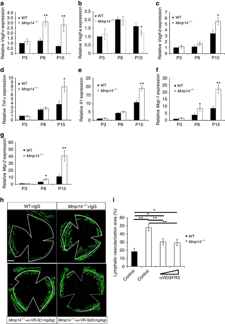 Blocking VEGFR3 activities inhibits corneal lymphangiogenesis in Mmp14 −/− mice. Real-time qPCR analyses of mRNA for Vegf-c ( a ), Vegf-a ( b ), Vegf-d ( c ), Tnf-α ( d ), Il-1β ( e ), Mcp-1 ( f ) and Mip-2 ( g ) in WT and Mmp14 −/− corneas at different ages (P3, P8 and P15) (* P