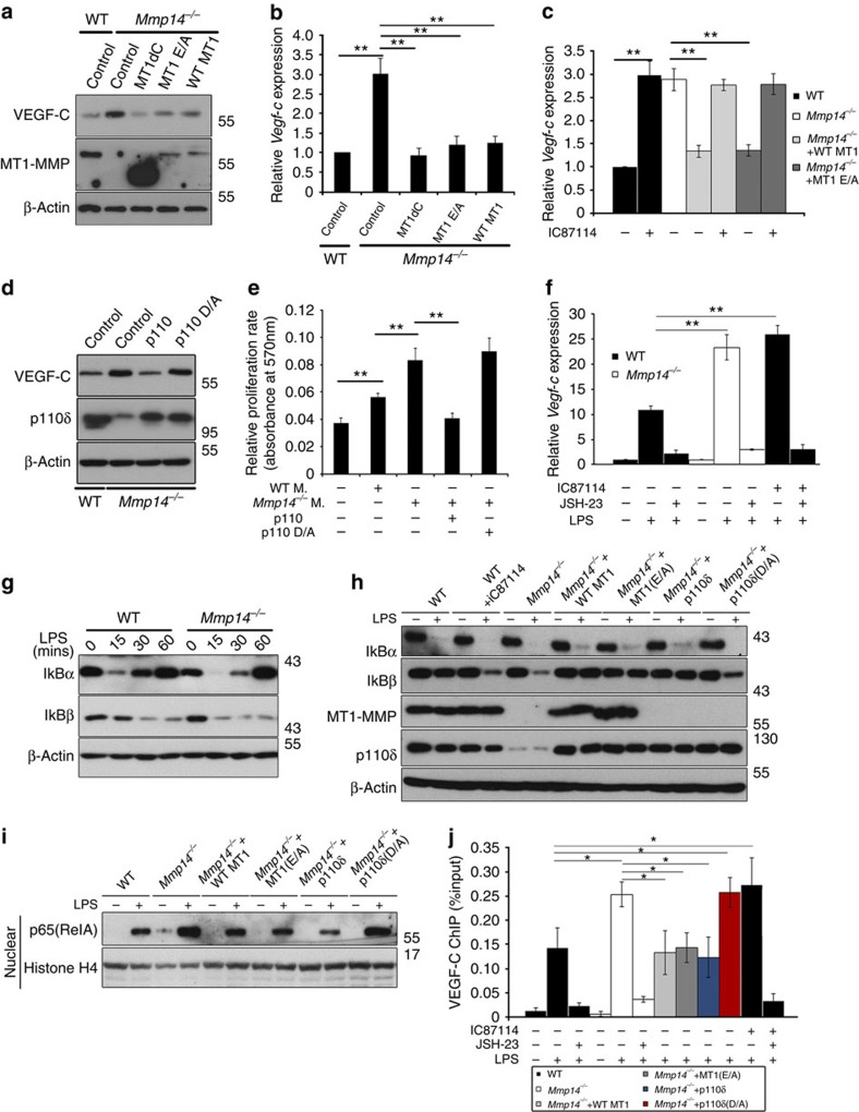 MT1-MMP suppresses VEGF-C expression via regulation of PI3Kδ signalling. ( a ) Western blot analyses of VEGF-C in WT and Mmp14 −/− BMMs with ectopic expression of control vector, full-length MT1-MMP, the cytosolic domain-deleted MT1-MMP or the E/A240 mutant MT1-MMP after stimulation with 1 μg ml −1 LPS for 24 h. ( b ) qPCR analyses of Vegf-c mRNA expression in WT and Mmp14 −/− BMMs with ectopic expression of a control vector, full-length MT1-MMP, the cytosolic domain-deleted or the E/A240 mutant MT1-MMP. Cells were stimulated with 1 μg ml −1 LPS for 6 h before the analyses (** P