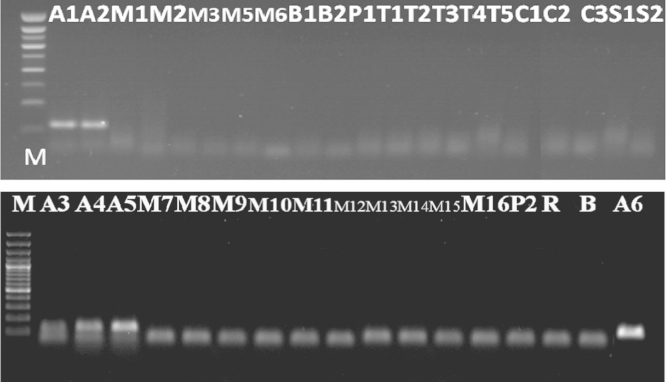 Detection of lectin gene in soybean samples tested (A1, A2, A3, A4, A5, and A6) (Results of PCR products of primer pair (GM03/GM04)) M: 100 bp DNA marker, B: negative control, lanes A1–A6: tested samples.