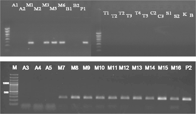 Detection of zein gene in maize samples tested (M1, M2, M3, M5, M6, M7, M8, M9, M10, M11, M12, M13, M14, M15, and M16) (Results of PCR products of primer pair zein3/zein4), M: 100 bp DNA marker, B: negative control, lanes A1–P2: tested samples.