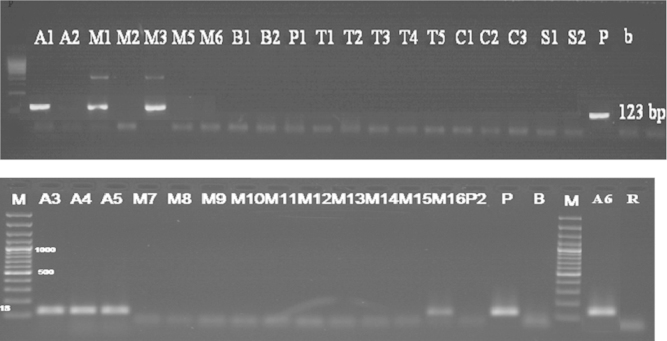 Detection of 35S promoter in samples (Results of PCR products of primer pairs p35S-cf3 and p35S-cf4), M: 100 bp DNA marker, B: negative control, P: positive control plasmid (PGIIMH35-2PS), lanes A1-R: tested samples.