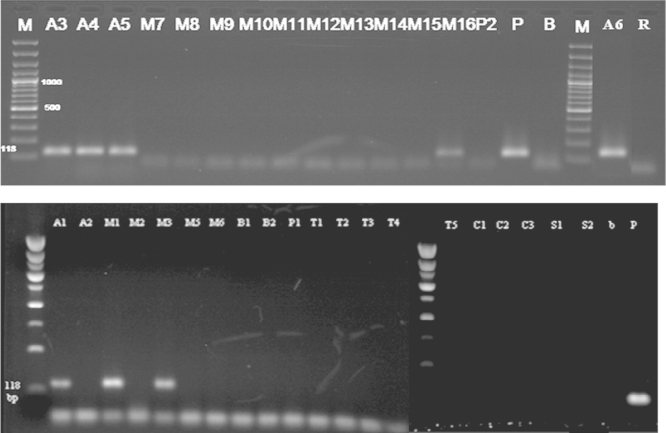 Detection of nos terminator in samples (Results of PCR products of primer pairs HA-nos118-f/HA-nos118-r), M: 100 bp DNA marker, B: negative control, P: positive control plasmid (PGIIMH35-2PS), lanes A1-R: tested samples.