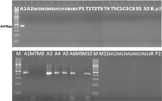 Detection of epsps gene in samples (Results of PCR products of primer pairs: GMO5, GMO9) M: 100 bp DNA marker, B: negative control, lanes A1–P2: Tested samples.