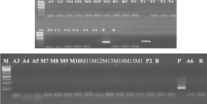 Detection of nptII gene in samples (Results of PCR products of primer pairs (nptIIf-nptIIr)) M: 100 bp DNA marker, B: negative control, P: positive control plasmid (pBI-121), lanes A1–P2: tested samples.