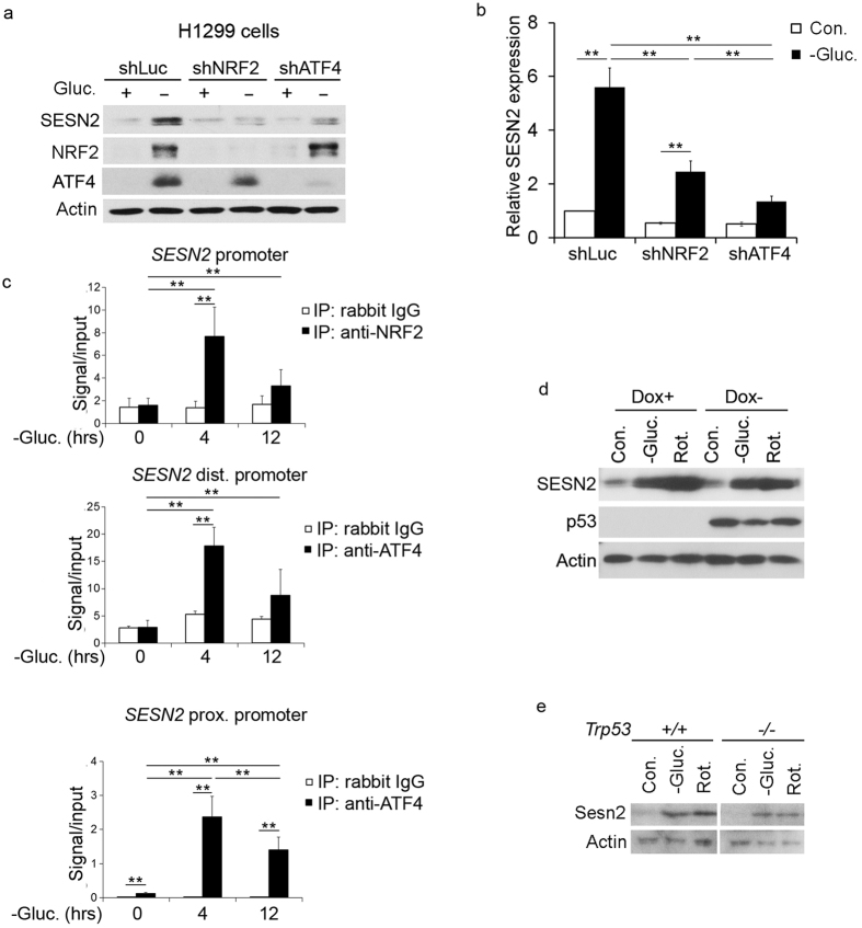 Glucose starvation activates SESN2 via NRF2- and ATF4- dependent but via p53-independent mechanism. ( a,b ) Silencing of either NRF2 or ATF4 inhibits SESN2 activation by glucose withdrawal. H1299 cells were infected with lentiviral vectors expressing shNRF2, shATF4 or control shLuciferase (shLuc). The cells were incubated with glucose-free medium for 12 hr and expression of the corresponding proteins was examined by immunoblotting ( a ) and qPCR ( b ). The data represent a mean of three independent experiments ± S.D. Data in ( b ) were analyzed with two-way ANOVA followed by linear contrasts with Bonferroni correction (adjusted α = 0.05/9 = 0.0056, **P