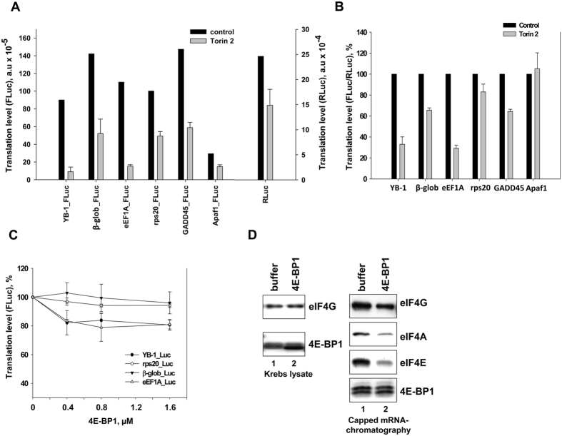The effect of Torin2 on translation of reporter mRNAs in HeLa cells, and the effect of 4E-BP1 on translation of reporter mRNAs in vitro . ( A ) Untreated or Torin2-treated (0.25 μM, 1 h) HeLa cells were transfected by reporter Firefly luciferase mRNAs with indicated 5′ UTRs and Renilla luciferase mRNA (as internal control), cultivated for 2 h, harvested and assayed for Firefly and Renilla luciferase ( FLuc and RLuc , respectively). Absolute values of FLuc or RLuc activities are presented. Errors are 2 standard deviations. ( B ) The same as ( A ) but the FLuc / RLuc ratio is presented. The FLuc / RLuc ratio for the control (untreated cells) was taken as 100%. Values are the means of at least three independent experiments. Errors are 2 standard deviations. ( C ), 0.1 pmol C + A + reporter Firefly luciferase mRNAs with indicated 5′ UTRs were translated in Krebs extract in the presence of increasing amounts of recombinant 4E-BP1 (0.4, 0.8, and 1.6 pmol) or without it. Reaction mixtures were assayed for Firefly luciferase after 45 min incubation at 30 °C. The FLuc activity without addition of 4E-BP1 was taken to be 100%. Values are the means of at least three independent experiments. Errors are 2 standard deviations. ( D ) Translation reactions (Krebs extract) with 1.6 pmol 4E-BP1 or without it were analyzed by Western blotting (left panel) or used for analysis of binding of translation initiation factors. The biotinylated, capped luciferase mRNA with β-globin mRNA 5′ UTR (0.1 pmol) was incubated in 10 μl translation reaction mixture (Krebs extract) with or without 1.6 pmol 4E-BP1 and immobilized on Streptavidin-Sepharose. RNA-bound proteins were eluted, separated by SDS-PAGE, and analyzed by Western blotting (right panel).