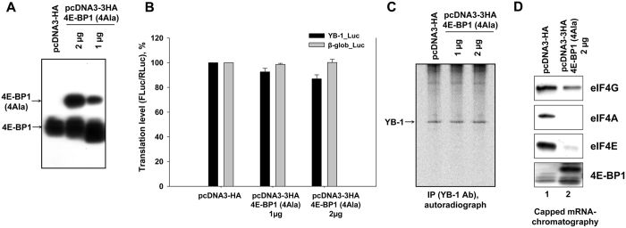The effect of 4E-BP(4Ala) on translation of reporter mRNAs and on YB-1 synthesis in HeLa cells. ( A ) 10 5 HeLa cells were transfected by 1 or 2 μg pcDNA3-3HA-4E-BP1(4Ala) or 2 μg pcDNA3-HA plasmids, cultivated for 36 h and used for Western-blot analysis with anti-4E-BP1 antibody. ( B ) 4E-BP1(4Ala)-overexpressing or control HeLa cells (10 5 each) were transfected by reporter Firefly luciferase mRNAs with YB-1 mRNA- or globin mRNA 5′ UTR and Renilla luciferase mRNA (as internal control), cultivated for 2 h, harvested and assayed for Firefly and Renilla luciferase ( FLuc and RLuc , respectively). The FLuc / RLuc ratio for the control (untreated cells) was taken as 100%. Values are the means of at least three independent experiments. Errors are 2 standard deviations. ( C ) 4E-BP1(4Ala)-overexpressing or control HeLa cells (10 6 each) were labeled with [ 35 S]-methionine for 2 h, harvested and lysed. Cell lysates were used for immunoprecipitation with anti-YB-1 antibody. Proteins bound to antibodies were resolved by acid-urea PAGE, and [ 35 S]-labeled proteins were detected by autoradiography. ( D ) Biotinylated, capped luciferase mRNA with YB-1 mRNA 5′ UTR (0.32 pmol) was incubated in 150 μl lysates of 4EBP(4Ala)-overxpressing HeLa cells (2 × 10 5 ) or control HeLa cells (2 × 10 5 ) and immobilized on Streptavidin-Sepharose. RNA-bound proteins were eluted, separated by SDS-PAGE and analyzed by Western blotting.