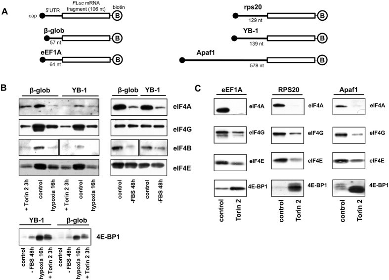Binding of translation initiation factors to 5′ UTRs of various mRNAs in HeLa cell lysates obtained under mTOR inhibition, serum starvation, or hypoxia. ( A ) A scheme of fragments used in experiment. Fragments with indicated 5′ UTRs and a 106 nt sequence of the luciferase mRNA-encoding region were 3′-biotinylated and 5′-capped. ( B , C ) The biotinylated, capped RNA fragments (2 pmol each) were incubated with 150 μl lysates of Torin2-treated, serum starved, exposed to hypoxia or untreated HeLa cells and immobilized on Streptavidin-Sepharose. RNA-bound proteins were eluted, separated by SDS-PAGE, transferred onto a nitrocellulose membrane, and detected using appropriate antibodies.