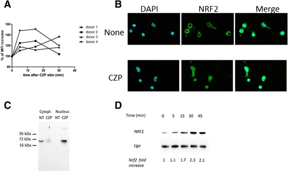 Certolizumab pegol ( CZP ) induces rapid production of reactive oxygen species (ROS) and nuclear translocation of nuclear factor (erythroid-derived 2)-like ( Nrf2 ). Monocytes were incubated, or not, with CZP (5 μg/ml) and ROS production was assessed by H2DCFCA using flow cytometry. The time course of rapid ROS production over 30 minutes is shown in monocytes from four different healthy donors ( a ). Monocytes were incubated, or not, with CZP (5 μg/ml) for 90 minutes, and cellular localization of Nrf2 was analyzed by wide-field microscopy using an anti-Nrf2 antibody. <t>4',6-diamidino-2-phenylindole</t> ( <t>DAPI</t> ) was used as control for nucleus staining ( b ). Cytoplasmic and nuclear extracts were prepared after 90 minutes of cell culture and analyzed for Nrf2 detection ( c ). Time course analysis of Nrf2 translocation in nuclear fraction-enriched cell extracts of monocytes incubated, or not, with CZP (5 µg/ml) ( d ). TATA box binding protein ( TBP ) was used as control ( d ). Data are representative of four experiments ( b , c , d ). MFI geometric mean of fluorescence intensity