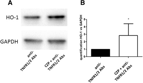 Heme oxygenase 1 ( HO-1 ) induction by anti-TNF certolizumab pegol ( CZP ) is due to reverse signaling. Monocytes were incubated, or not, with CZP (5 μg/ml) for 16 h in the presence of TNF receptor 1 ( TNFR1 ) and TNFR2 (5 μg/ml) blocking antibody. HO-1 protein expression was assessed by western blot ( a ). Quantification of four western blot experiments was performed. Paired t test p = 0.05 ( b ). GAPDH glyceraldehyde 3-phosphate dehydrogenase, Abs antibodies