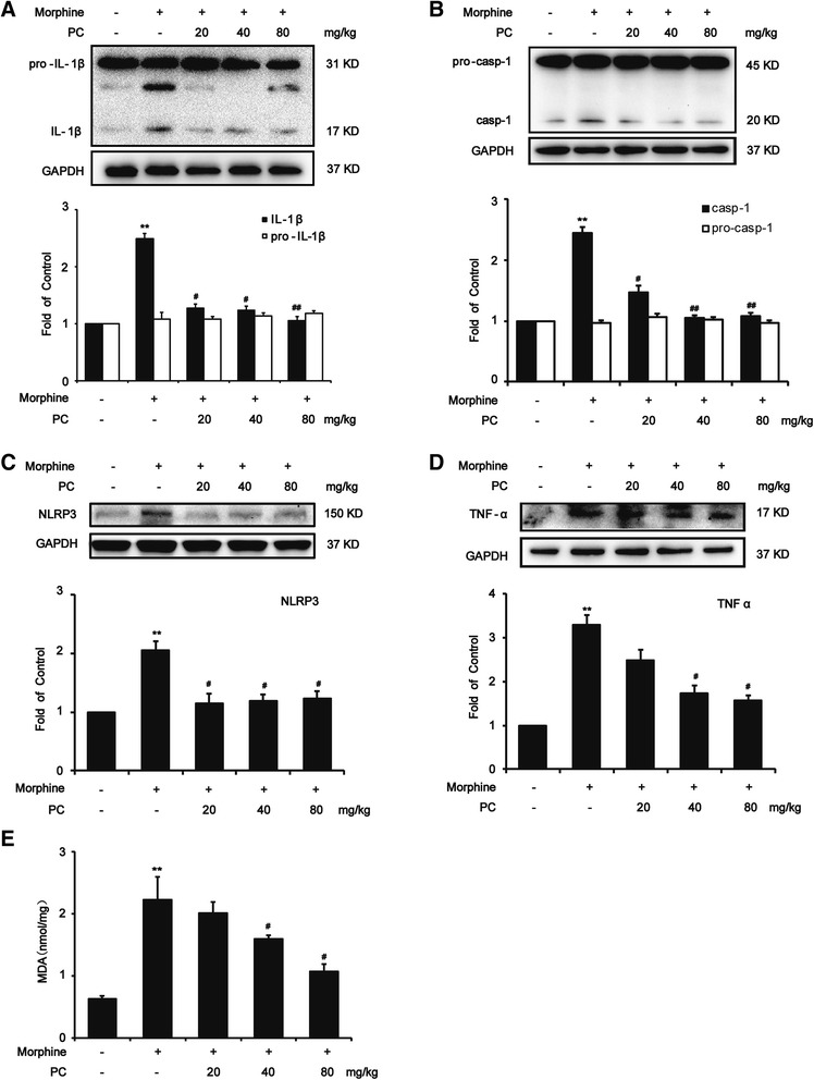 Procyanidins suppressed morphine-induced NLRP3 inflammasome activation in the spinal cord. a Procyanidins inhibited the morphine-induced upregulation of IL-1β in the spinal cord. b Procyanidins suppressed the morphine-induced activation of caspase-1 in the spinal cord. c Procyanidins inhibited the morphine-induced upregulation of NLRP3 in the spinal cord. d Procyanidins inhibited the morphine-induced upregulation of TNF-α in the spinal cord. The western blot samples ( n = 4) were collected as described in methods. e Procyanidins inhibited the morphine-induced upregulation of malondialdehyde (MDA) in the spinal cord ( n = 4). * p