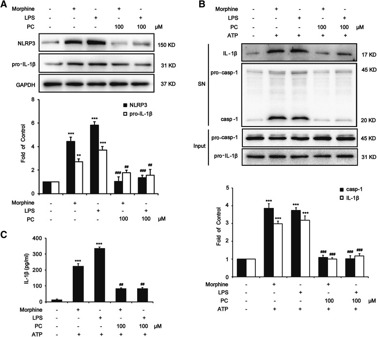 Procyanidins suppressed morphine-induced NLRP3 inflammasome activation in microglia. BV-2 cells were stimulated by LPS (1 μg/ml) or morphine (200 μM) with or without 100 μM of procyanidins for 12 h, and then, the inflammasome was activated with 5 mM of ATP for 1 h. a Procyanidins (100 μM) inhibited both LPS-induced and morphine-induced expression of pro-IL-1β and NLRP3 in BV-2 cells. The western blot samples for BV-2 cells ( n = 4) were collected and analyzed 12 h after the last morphine exposure. b Procyanidins (100 μM) inhibited the morphine-induced and LPS-induced increase of caspase-1 and IL-1β in the supernatant of BV-2 cells. The western blot samples ( n = 4) came from the supernatant of BV-2 cells. c ELISA of IL-1β in supernatants from LPS- and morphine-primed BV-2 cells and then stimulated with ATP. * p