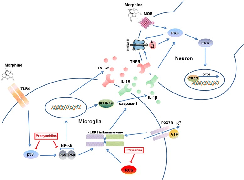 Schematic indicating the suppression of microglial NLRP3 to alleviate morphine tolerance by procyanidins. Upon the stimulation by morphine or LPS, several pathways including the release of ROS, and K + efflux have been identified to signal the activation of NLRP3 inflammasome, leading to the activation of caspase-1 and the maturation of <t>IL-1β.</t> Procyanidins inhibited the ROS production and NLRP3 activation. The p38/NK-κB pathway was activated by morphine or LPS to induce the gene expression of NLRP3. The inhibition of p-p38 and NF-κB were a critical mechanism for the NLRP3 inflammasome suppressive effect of procyanidins in microglia
