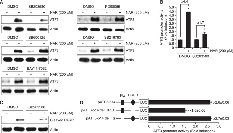 Dependency of p38 in NAR-mediated ATF3 activation (A) HCT116 cells were pretreated with SB203580 (40 μM, p38 inhibitor), PD98059 (40 μM, ERK1/2 inhibitor), SP600125 (40 μM, JNK inhibitor), SB216763 (20 μM, GSK3β inhibitor) or BAY11-7082 (20 μM, NF-κB inhibitor) for 2 h and then co-treated with 200 μM of NAR for 6 h. Cell lysates were subjected to SDS-PAGE and Western blot was performed using antibodies against ATF3 or actin. (B) HCT116 cells were transfected with pATF3-1420/+34 construct (1 μg) and pRL-null vector (0.1 μg). The cells were pretreated with 40 μM of SB203580 for 2 h and then co-treated with 200 μM of NAR for 24 h. Then, luciferase activity was measured. * p