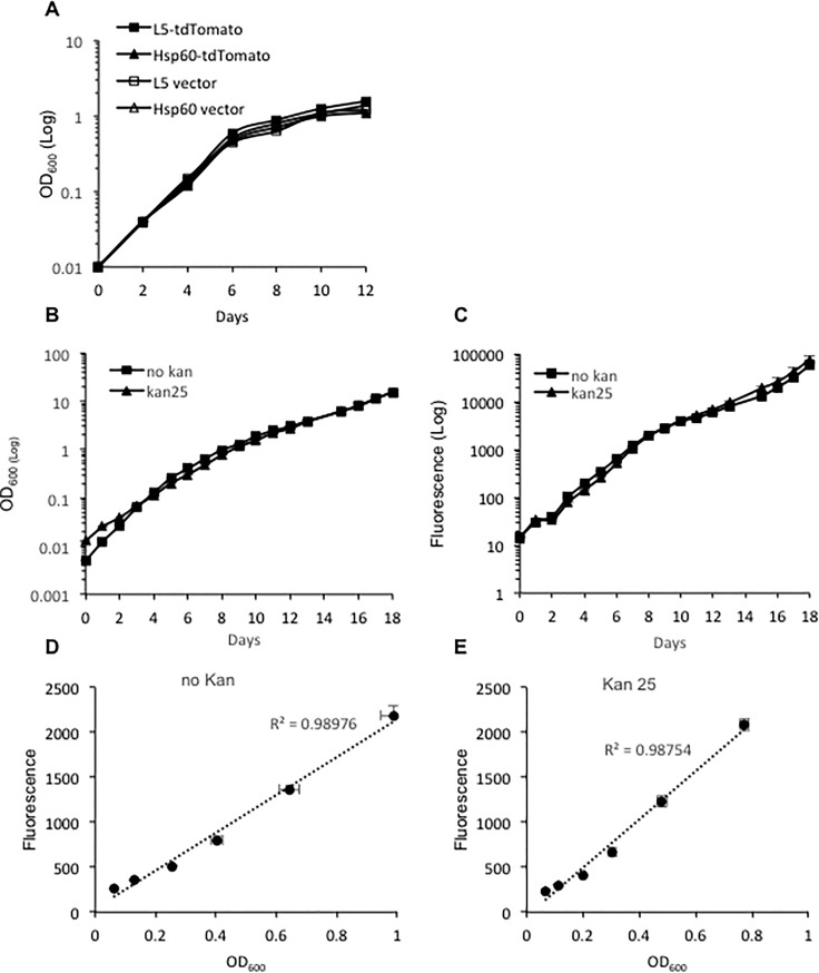 Evaluation of plasmid stability and the absence of effects on bacterial growth. A. Growth curves for M . bovis BCG strains carrying L5-tdTomato, Hsp60-tdTomato or the vector plasmids alone (no fluorescent protein expressed). B. Optical density (OD) of cultures at 600 nm in 7H9 media with (kan 25) or without (no kan) 25 μg/ml kanamycin over 18 days of culture. C. Fluorescence changes of the strain in media with or without kanamycin over 18 days of culture. D. Correlation between fluorescence and OD at 600 nm for the strain grown in medium without kanamycin. E. Correlation between fluorescence and OD at 600 nm for the strain grown in medium with kanamycin. For correlation analyses, samples for OD 600 within the range of 0.05–1 were selected. Data represent one of at least three independent replicate experiments. Values in the Y-axis represent mean of fluorescence or OD values. The error bars are standard deviations.