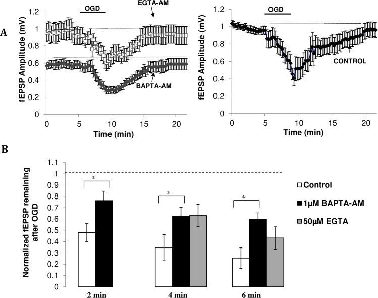 Cell-permeant calcium chelators reduce ischemia-induced depression of fEPSP amplitudes. (A) Time course of the depression and subsequent recovery of fEPSP amplitudes in drug (left) and control (right) condition. Left Calcium chelator data. 4min OGD in the presence EGTA-AM (grey triangle, n = 6) or BAPTA-AM (black circle, n = 6) leads to a smaller depression of fEPSP amplitudes relative to control, along with faster recovery of the response (approximately 5–6 min). Right Control data. 4min of OGD produces a large depression of fEPSP amplitude, which then takes approximately 9 min to recover (n = 5). (B) Amount of fEPSP amplitude remaining after oxygen-glucose deprivation. 1 μM BAPTA-AM increases the amount of evoked neurotransmission remaining after 2 min (n = 7), 4 min (n = 6) and 6 min (n = 5) of ischemia relative to control (n = 7, 5, 5, respectively). 50 μM EGTA-AM (n = 6) shows similar effects to BAPTA-AM (1 μM) at 4 min of OGD, with both chelators increasing the fEPSP amplitude remaining after OGD. At 6 min however, EGTA-AM does not significantly reduce OGD-induced depression of fEPSP amplitude relative to control (n = 6) Data plotted as mean ± SE. * p