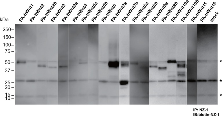 Expression/secretion profile of all human Wnt constructs in the presence of serum. N-terminally PA-tagged human Wnt constructs (constructs #4 - #22 shown in Supplementary file 1 ) are singly transfected into HEK293T cells in the presence of 10% bovine serum and the resultant culture supernatants were subjected to the immunoprecipitation with NZ-1 followed by immunoblotting with biotinylated NZ-1 as in Figure 7B . Asterisks denote nonspecific bands present in all samples including that obtained with mock-transfected culture supernatant. DOI: http://dx.doi.org/10.7554/eLife.11621.020