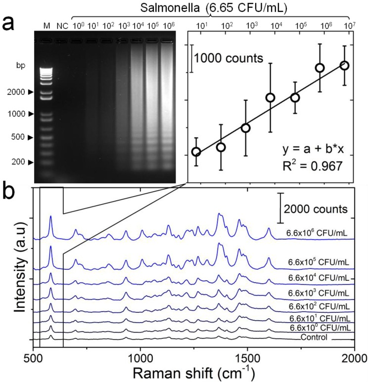 Detection sensitivity of the developed LAMP-SERS assay. (a) Electrophoresis patterns of LAMP amplification products generated from different concentrations of S. Enteritidis DNA template. LAMP reaction was performed using 10-fold serial dilutions of S. Enteritidis DNA template (6.6×10 0 CFU/mL - 6.6×10 6 CFU/mL). M: 1-kb DNA ladder marker; NC: negative control (without target DNA template). (b) SERS spectral features of <t>Au-nanoprobes</t> incubated with LAMP products of different concentrations of S. Enteritidis DNA template. SERS peak intensity centered at 583 cm -1 was used for quantitative analysis of S. Enteritidis. Variations in SERS peak intensity centered at 583 cm -1 were as a function of S. Enteritidis concentration. The inset shows a linear relationship in the concentration range from 6.6×10 0 CFU/mL - 6.6×10 6 CFU/mL. Error bars are standard deviations from a total of three independent measurements. Raman spectroscopic analysis was performed using a 785-nm laser for excitation at 25 mW and 10 sec as integration time. The raw SERS spectra were baseline corrected and the final spectrum was obtained by averaging three different measurements without spectral normalization.