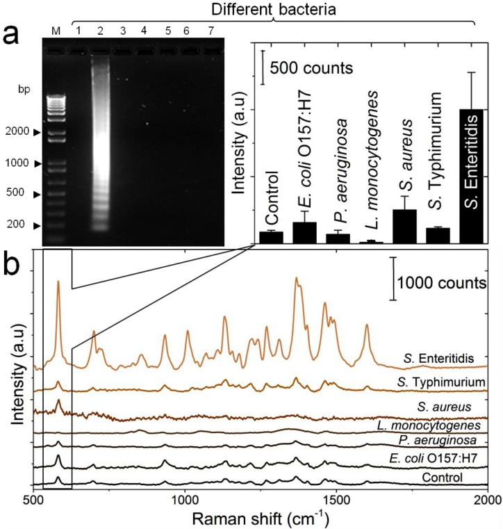 Detection specificity of the developed LAMP-SERS assay. (a) Electrophoresis patterns of LAMP amplification products generated from different bacteria. LAMP reaction was performed using DNA template extracted from different bacterial suspensions (OD 600 =1). Lane M: 1-kb DNA ladder marker; NC: negative control (without target DNA template); Lane1: S . Enteritidis (target bacterium); Lane 2: S . Typhimurium; Lane 3: S. aureus ; Lane 4: L . monocytogenes ; Lane 5: P. aeruginosa ; Lane 6: E . coli O157:H7. (b) SERS spectral features of Au-nanoprobes incubated with LAMP products of different bacteria. The inset shows the variation in SERS peak intensity centered at 583 cm -1 as a function of different bacteria. Error bars are standard deviations from a total of three independent measurements. Raman spectroscopic analysis was performed using a 785-nm laser for excitation at 25 mW and 10 sec as integration time. The raw SERS spectra were baseline corrected and the final spectrum was obtained by averaging three different measurements without spectral normalization.